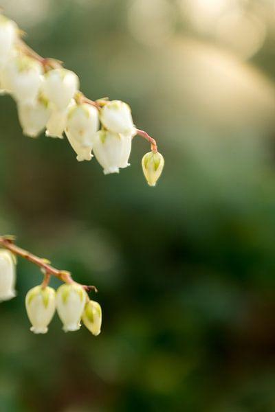 macrofoto van kleine witte bloemen in de lente | fine art bloemenkunst