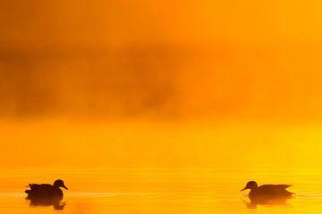 Ein Paar Squaw-Enten im Morgennebel mit Gegenlicht von Menno van Duijn