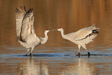 Canadese kraanvogels van