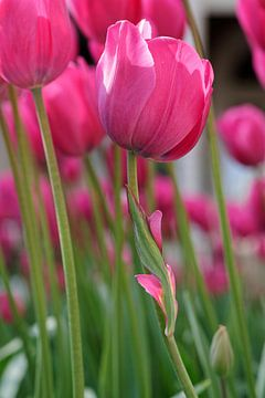 Misshaped Pink Tulip - 2017 von Timmy Bouwmann