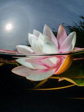 Witte waterlelie met zon en halo van René Weterings