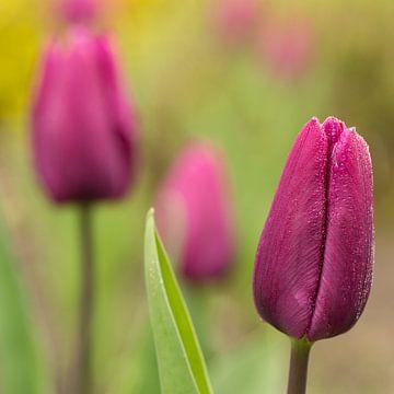 Paarse tulpen von André Dorst