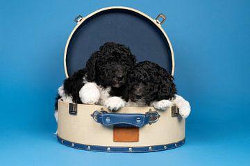 Twee Harlekijn Konings Poedels liggend in een ronde koffer tegen een blauwe achtergrond van Leoniek van der Vliet