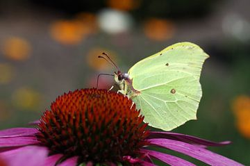 Citroen vlinder op paarse coneflower van Anja Uhlemeyer-Wrona