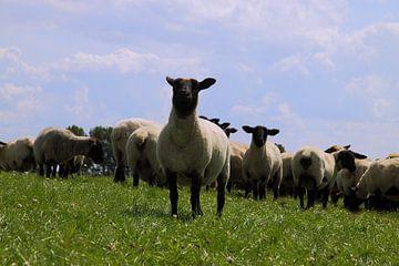 Wir kommen - Schafe auf dem Deich von Rolf Pötsch