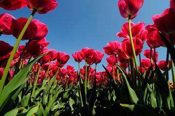 Tulpen von Sjoerd van der Wal