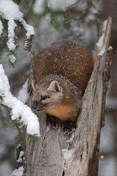 Baummarder / Fichtenmarder ( Martes americana ) im winter, Yellowstone NP, USA. von wunderbare Erde