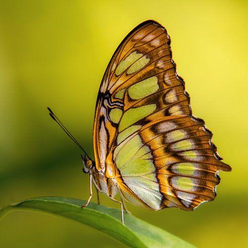 De Siproeta stelenes vlinder van