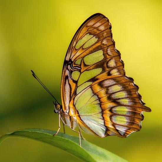 De Siproeta stelenes vlinder