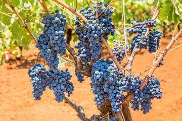 Traubenpflanze im Weinberg voll von blauen Traubenbündeln von Ben Schonewille
