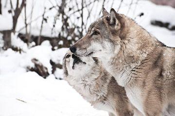 Paix et amour entre les loups sur Michael Semenov