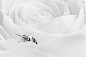 Slak op witte roos