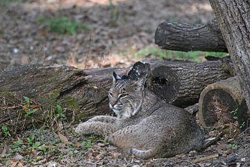 Rotluchs oder Bobcat von Koolspix