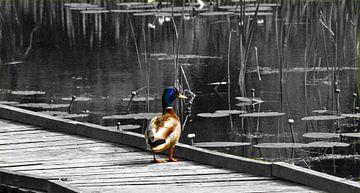 Eend-Duck-Canard-Ente-Anatra von aldino marsella