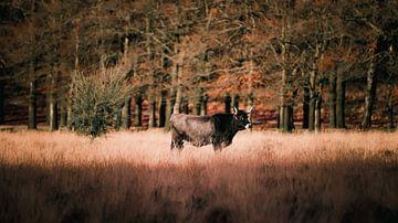 Kuh in Planken Gambeson, Ede von AciPhotography