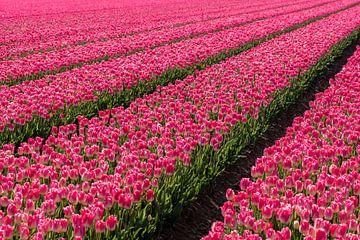 Tulpenfeld mit rosa Tulpen. von Albert Beukhof
