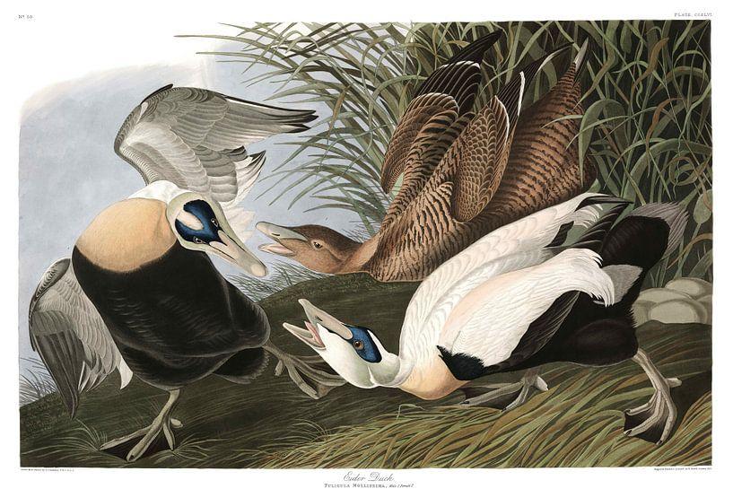 Somateria van Birds of America