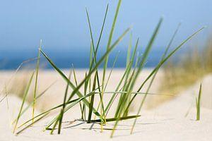 Helmgras in de duinen aan de kust