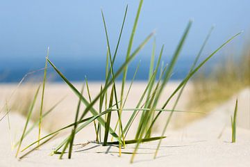 Helmgras - Dünen an der Küste von