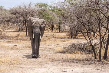 Elefant zwischen den Büschen in Tansania von Mickéle Godderis
