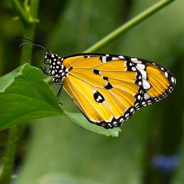 Afrikaanse Koningsvlinder von Martin Helmich