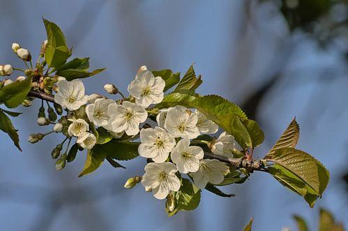 Bloesems van een wilde kers - Prunus avium