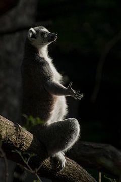 Ringelschwanzlemur : Tierpark Amersfoort von Loek Lobel