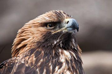 Bec crochu et regard aiguisé de l'aigle royal regardant attentivement vers le haut, la tête de l'aig sur Michael Semenov