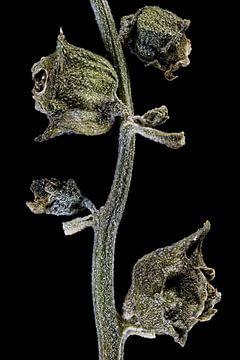 Neuseeländischer Spinat, Tetragonia tetragonioides auf schwarzem Hintergrund von Christophe Fruyt