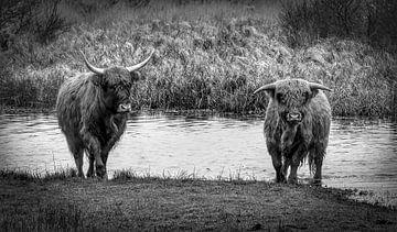 Schottische Highlander mit Kalb zu Fuß aus dem Wasser schwarz und weiß von Marjolein van Middelkoop