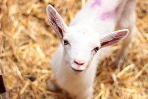 Baby Geit op de geitenboerderij van Angelica Bouwmeester