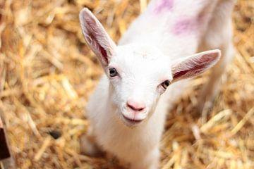 Ziegenbaby auf der Ziegenfarm von Angelica Bouwmeester