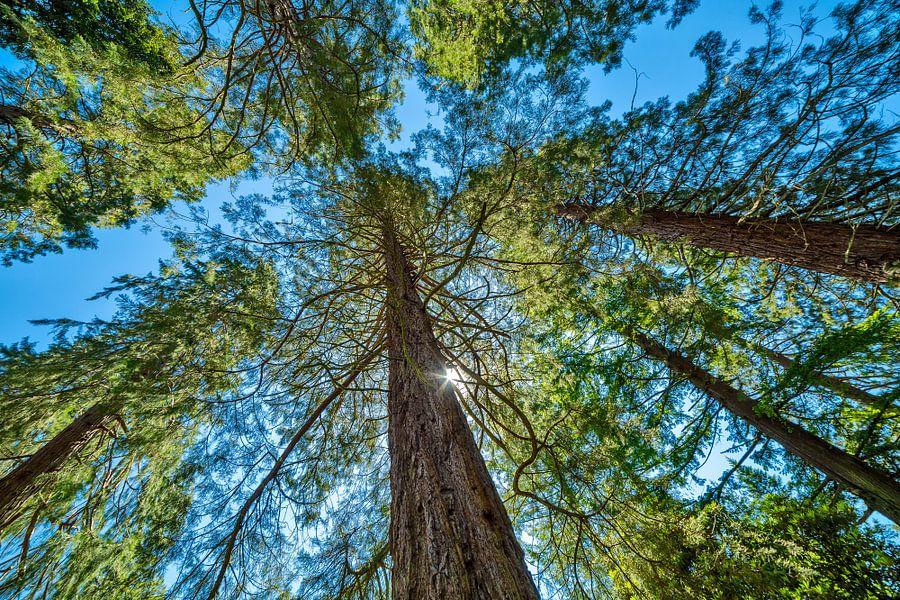 Metasequoia tegen een strakblauwe lucht van Hans Kwaspen