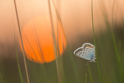 Slapende vlinder van