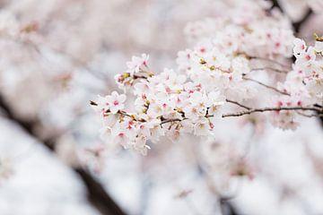 Witte kersenbloesem van Schram Fotografie