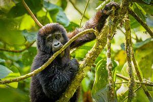 Een schattige baby berggorilla. van Gunter Nuyts