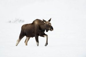 Moose ( Alces alces ), walking though deep snow, winter, Yellowstone NP, Wyoming,  USA, North Americ