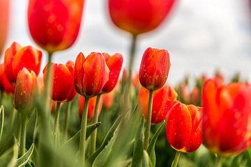 Rode tulpen van mike van schoonderwalt