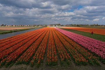 Tulpenvelden van Martijn Stoppels