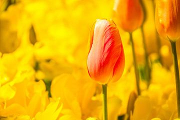 Die rosa Tulpe von Stedom Fotografie