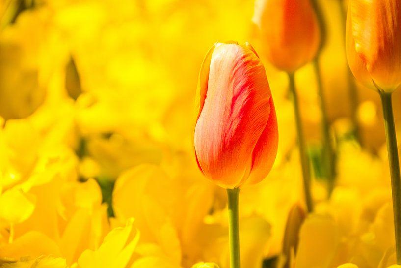 De roze tulp van Stedom Fotografie