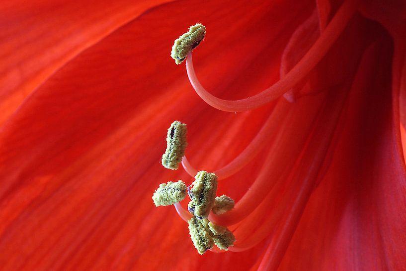 Red Amaryllis van Monique Dijkgraaf