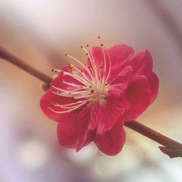 Bloeiende Prunus van Aafke's fotografie