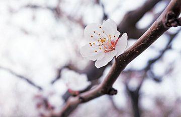 Blüte im Frühling von Chihong