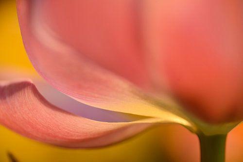 Roze tulp close up van Gonnie van de Schans