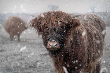 Schottische Highlander im Schnee von Manon Moller Fotografie