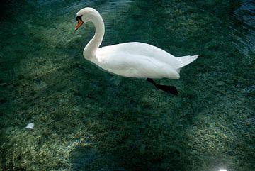 Swan Annecy van Mariska Hofman