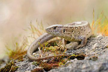 Sunbathing Sand Lizard  (Lacerta agilis) van