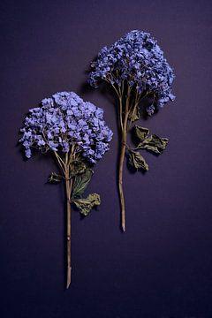 Compositie gedroogde Hydrangea's van Karel Ham