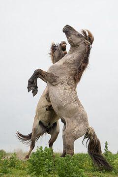 Paarden | Stijgerende konikpaarden - Oostvaardersplassen 2 van